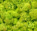 Стабилизированный мох Ягель