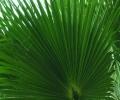 Лист стабилизированной пальмы Вашингтония