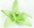 Стабилизированная хризантема Цимбидиум