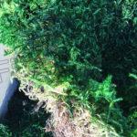 Стабилизированный зеленый мох пластами