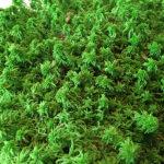Стабилизированный мох сфагнум зеленого цвета